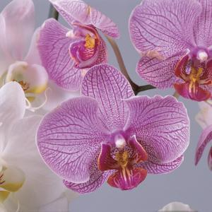 Close-Up of Moon Orchids (Phalaenopsis Amabilis) by G. Cigolini