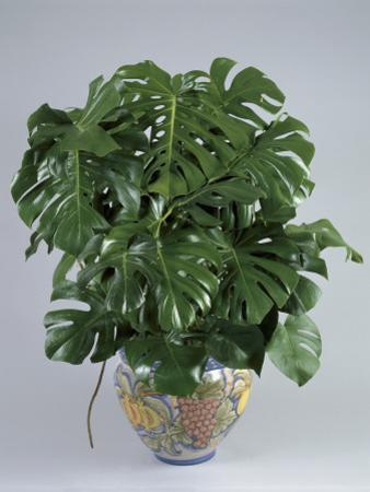 Split-Leaf Philodendron Growing in a Pot (Monstera Deliciosa) by G. Cigolini