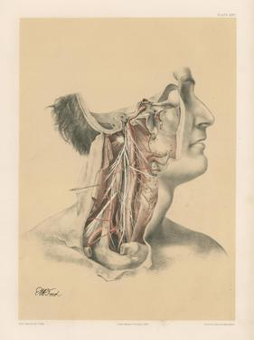 The Head and Neck. Internal Carotid and Ascending Pharyngeal Arteries, and Cranial Nerves in the… by G. H. Ford