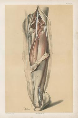 The Lower Limb. Deep Muscles of the Calf, and the Popliteal Vessels and Nerves by G. H. Ford