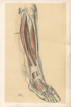 The Lower Limb. Front of the Leg and Dorsum of the Foot by G. H. Ford