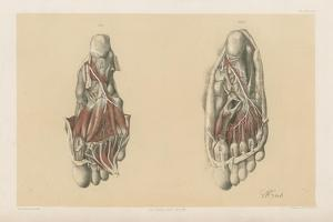 The Lower Limb. Third and Fourth Stages of the Dissection of the Sole of the Foot by G. H. Ford