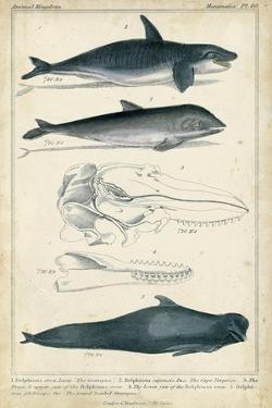 Antique Whale and Dolphin Study I by G. Henderson
