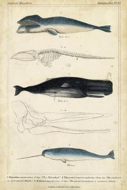 Antique Whale and Dolphin Study III by G. Henderson