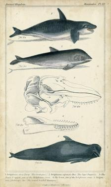 Antique Whale & Dolphin Study I by G. Henderson
