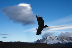 Andean Condor (Vultur Gryphus) Flying over Torres Del Paine National Park, Chilean Patagonia, Chile by G & M Therin-Weise