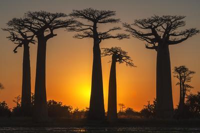 Baobab Trees (Adansonia Grandidieri) at Sunset, Morondava, Toliara Province, Madagascar, Africa