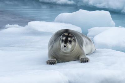 Bearded Seal (Erignathus barbatus) laying on pack ice, Spitsbergen Island, Svalbard Archipelago, Ar by G&M Therin-Weise