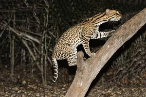 Ocelot (Leopardus pardalis) at night, Pantanal, Mato Grosso, Brazil, South America by G&M Therin-Weise