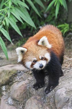 Red Panda (Ailurus Fulgens), Sichuan Province, China, Asia by G & M Therin-Weise