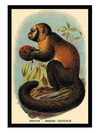 Smooth-Headed Capuchin