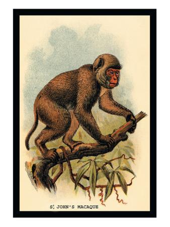 St. John's Macaque