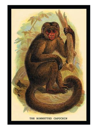 The Bonnetted Capuchin