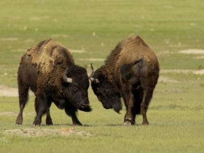 South Dakota, Badlands National Park, Two Young Bison Bulls Enjoy a Moment of Play