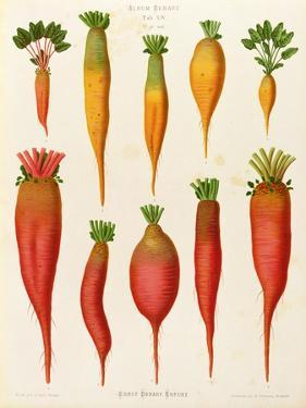 "Carrots and Turnips: from the ""Album Benary"" Tab. XIV by G. Severeyns"