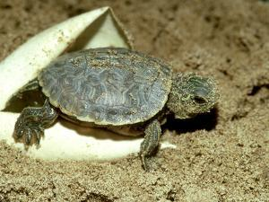 Red-Eared Slider Turtle, Hatching, USA by G. W. Willis