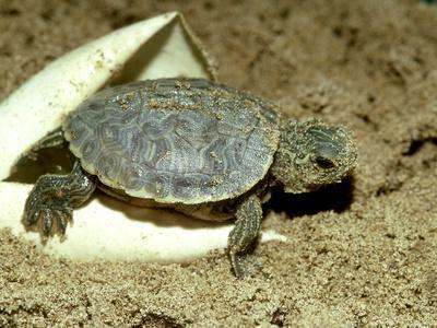 Red-Eared Slider Turtle, Hatching, USA