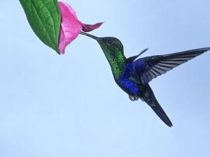 Violet-Crowned Woodnymph, Costa Rica by G. W. Willis