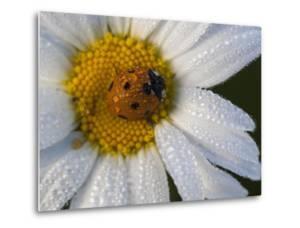 A Ladybug on a Dew-Covered Daisy in a Field by Gabby Salazar