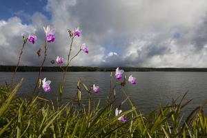Bamboo Orchids, Arundina Graminifolia, Growing Along the Side of a Reservoir by Gabby Salazar
