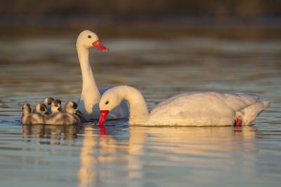 Coscoroba swan, (Coscoroba coscoroba) family with chicks, La Pampa, Argentina
