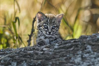 Geoffroy's cat, (Leopardus geoffroyi) Calden Forest, La Pampa, Argentina