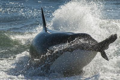 Orca (Orcinus Orca) Hunting Sea Lion Pups, Peninsula Valdez, Patagonia Argentina