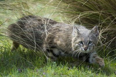 Pampas cat (Leopardus colocola) La Pampa Province, Argentina
