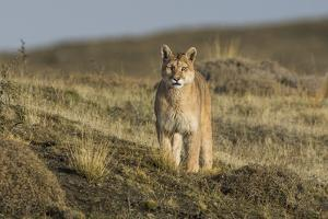 Puma (Puma Concolor) in High Altitude Habitat, Torres Del Paine National Park, Chile by Gabriel Rojo
