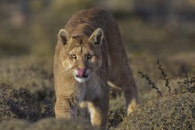Puma (Puma Concolor) in High Altitude Habitat, Torres Del Paine National Park, Chile