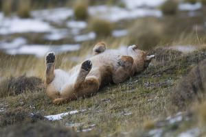 Puma (Puma Concolor) Rolling on Back, Torres Del Paine National Park, Chile, June by Gabriel Rojo