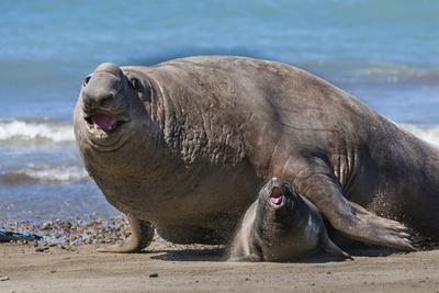 RF - Southern elephant seal male and female, Valdes, Patagonia Argentina