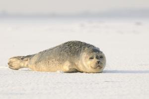 Gray Seals Flock to the Beach of Donna Nook,Donna Nook Nature Reserve, Lincolnshire, United Kingdom by Gabriele Bano