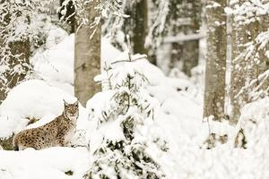 Linx (Lynx Lynx) in the Forest under an Intense Snowfall,Bayerischer Wald National Park,Germany by Gabriele Bano