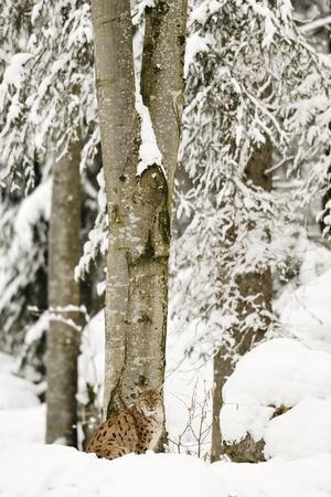 Lynx (Lynx Lynx) in the Forest under an Intense Snowfall, Bayerischer Wald National Park,Germany