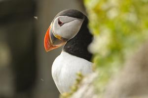 The Cute and Colorful Puffins Crowd the Cliffs of Latrabjarg, Latrabjarg , Iceland, Islanda by Gabriele Bano