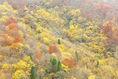The Mixed Forest in Autumn Wears His Best Dress, Alpi Carniche , Friuli-Venezia Giulia, Carnia