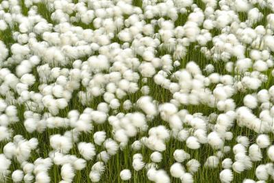The with Cotton Grass Covers Entire Fields of Wet,Iceland, Islanda
