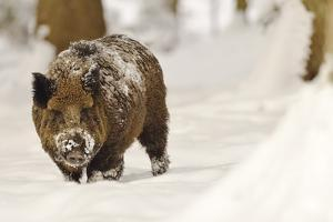 Wild Boar (Sus Scrofa) in the Snow, Bayerischer Wald National Park, Germania, Germany by Gabriele Bano