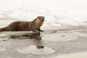 Wild Otter (Lutra Lutra) on the Frozen Lake, Bayerischer Wald National Park , Germania, Germany by Gabriele Bano