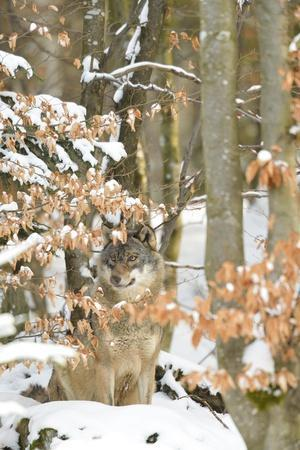 Wild Wolf in the Beech Forest, Bayerischer Wald National Park , Germania, Germany