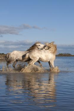Camargue Horses, Stallions Fighting in the Water, Bouches Du Rhone, Provence, France, Europe by Gabrielle and Michel Therin-Weise