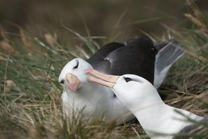 Courting Black-Browed Albatross (Black-Browed Mollymawk) (Diomedea Melanophris) by Gabrielle and Michel Therin-Weise