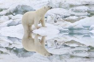 Female Polar Bear Reflecting in the Water (Ursus Maritimus) by Gabrielle and Michel Therin-Weise