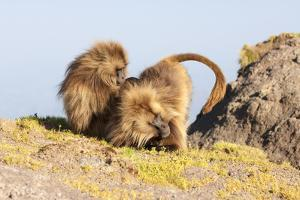 Gelada Baboon (Theropithecus Gelada) Grooming Each Other by Gabrielle and Michel Therin-Weise