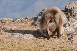 Gelada Baboon (Theropithecus Gelada) by Gabrielle and Michel Therin-Weise