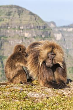 Gelada Baboons (Theropithecus Gelada) Grooming Each Other by Gabrielle and Michel Therin-Weise