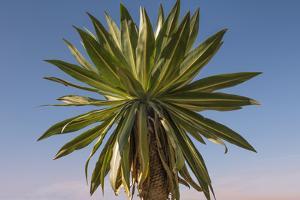 Giant Lobelia (Lobelia Rhynchopetalum) by Gabrielle and Michel Therin-Weise