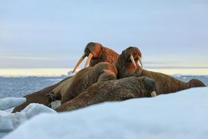Last Rays of Evening Sun Striking a Group of Walrus (Odobenus Rosmarus) by Gabrielle and Michel Therin-Weise