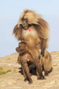 Mating Gelada Baboons (Theropithecus Gelada) by Gabrielle and Michel Therin-Weise